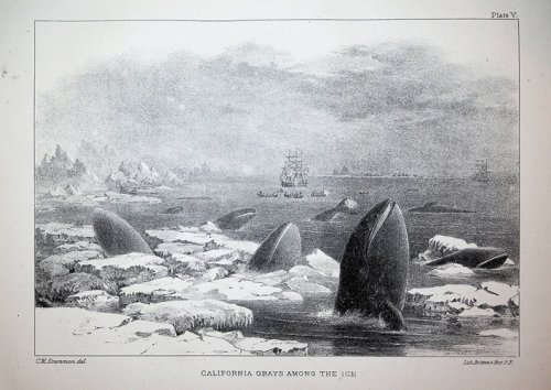 The Marine Mammals of the North-Western Coast of North America described and illustrated together with an account of the American Whale-Fishery